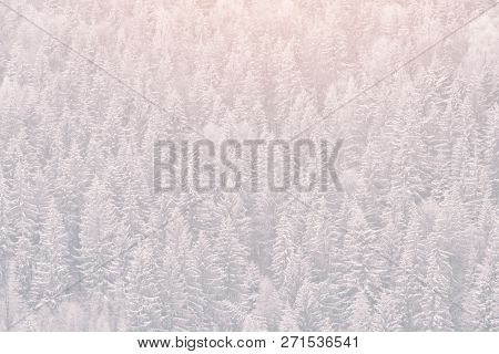 Snow-covered Firs. Thick Coniferous Forest. Winter Landscape