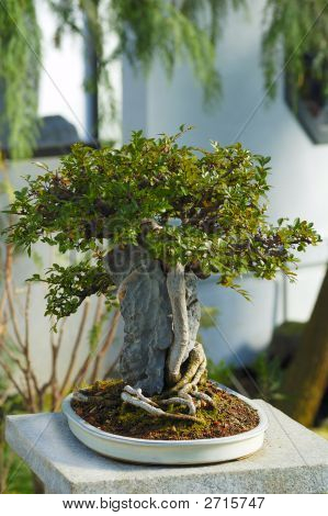 A Japanese Bonsai Tree