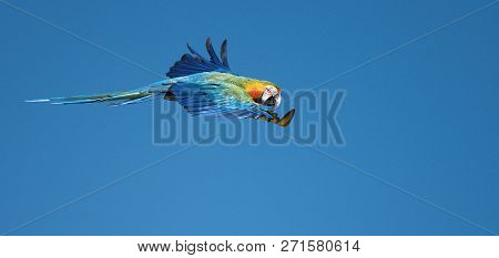 Blue And Gold Macaw (ara Ararauna) Flying. Blue And Yellow Wild Parrot, Image With Macaws Naturally