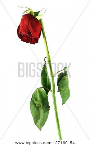 Old rose isolated on white