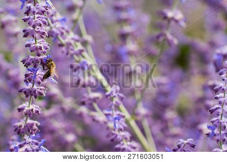 Lavender bushes closeup on sunset. Lavender field closeup. Blooming lavender.Sunset gleam over purple flowers of lavender poster