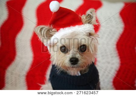 Small dog Christmas. A Morkie half Maltese - Yorkie dog smiles for his Christmas Portrait. Small Dog in a Santa Claus hat with a Red and White Background.