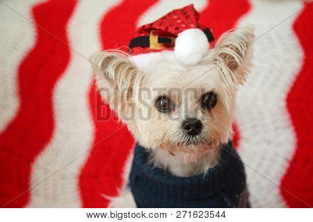 Cute Small dog Christmas. A Morkie half Maltese - Yorkie dog smiles for his Christmas Portrait. Small dog is happy to have his Christmas Portrait taken.