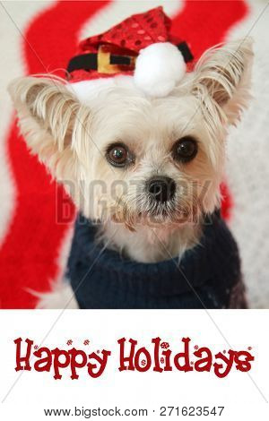 Small dog Christmas. A Morkie half Maltese - Yorkie dog smiles for his Christmas Portrait.  Text reads Happy Holidays. Text is replaceable with your own. Greeting Card design. poster