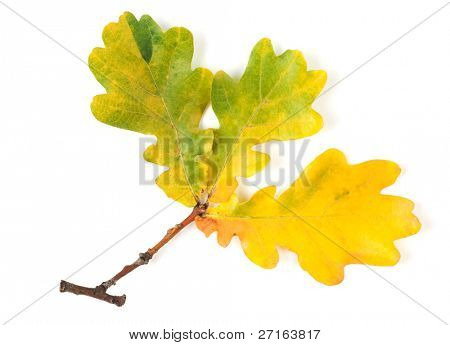 Yellow autumn leaf isolated on white background