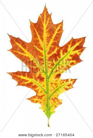 Yellow-red autumn leaf isolated on white background