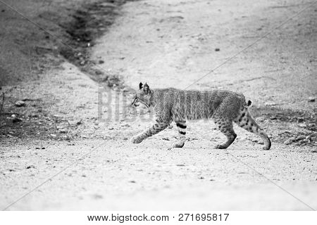 An Adolescent Bobcat Walks Across A Path In The  Back Yard Of A Home In Scottsdale, Arizona. Black A