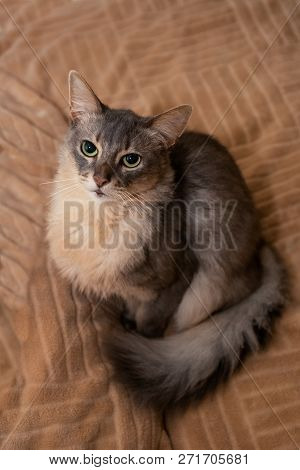 Somali Cat Blue Color At Home Sitting On Sofa