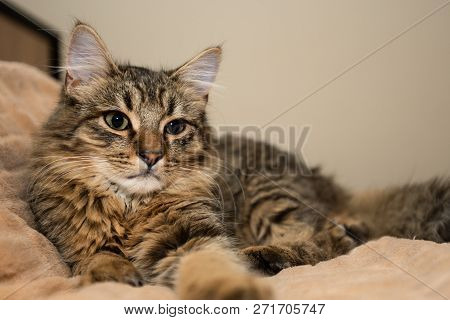 Mixed Breed Kitten Five Month Lying On Bed