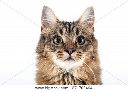 Pretty Cat Mixed Breed On White Background