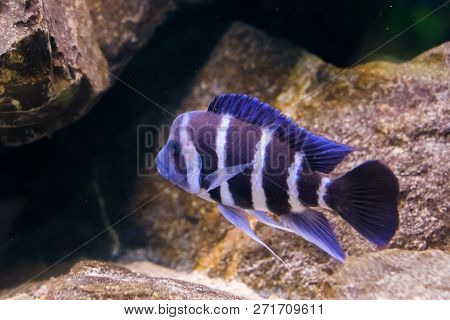 Blue And White Banded Humphead Cichlid Fish In Closeup, A Tropical And Popular Aquarium Pet From Lak