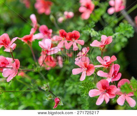 Geranium Pelargonium Flowers Stock Photos Color Image