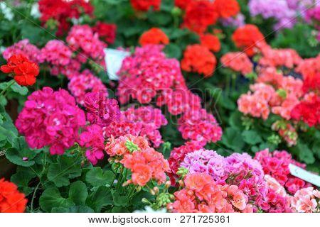 Geranium Pelargonium Flowers Background Color Image Stock Photos