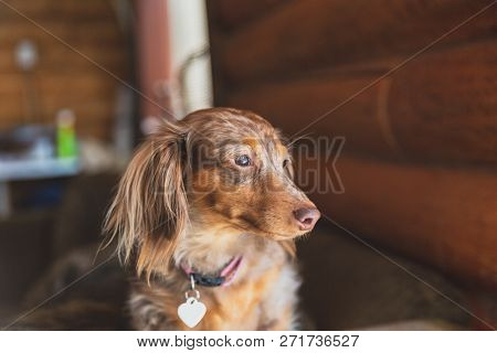 Miniature Dapple Dachshund With Long Fur Sitting On A Couch And Looking Outside. Dog Is Waiting For