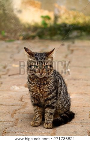 European Cat Portrait. Portrait Of Beautiful Cat. Cute Three Color Cat. European Short Haired Cat. P