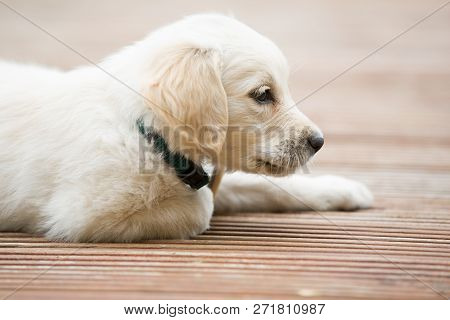 Very Young White Golden Retriever Puppy Body Part.