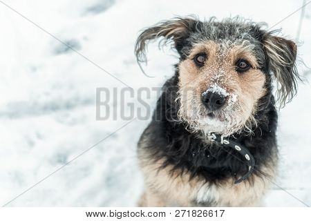 Dog Looking Funny With Frosted Snow Over Nose In Winter - Cold Season. Winter Dog Portrait.