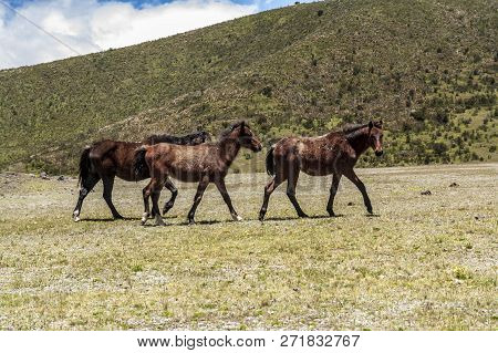 Wild Horses Wondering Accross Cotopaxi National Park