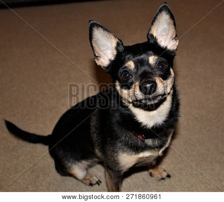 Beautiful Chihuahua Caught Waiting For Her Favorite Treat.