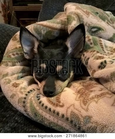 Adorable Black And Tan Chihuahua Snuggled Up In A Throw.