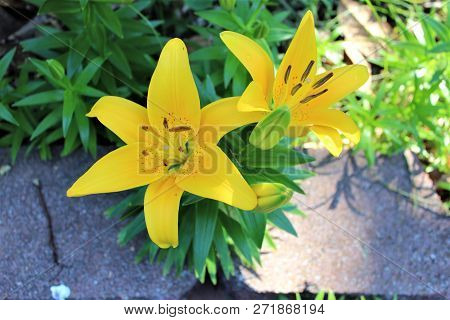 Closeup Of A Yellow Asiatic Lilly Against A Landscaped Background.