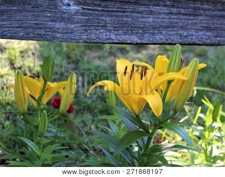 Closeup Of A Yellow Asiatic Lilly Contrasted With Weathered Wooden Fence.