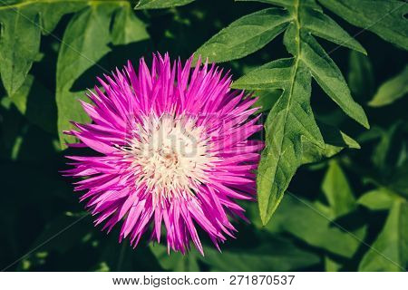 Beautiful Vivid Pink Cornflower With Whitish Center Among Rich Green Leaves Close Up. Bright Magenta