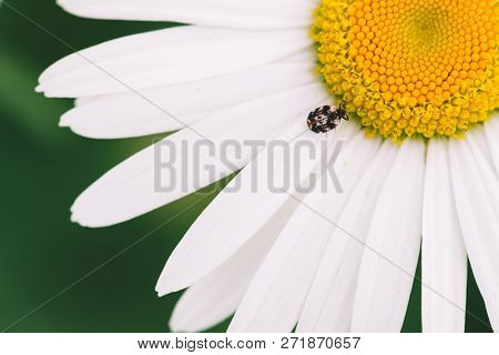 Small Anther Crawls On Big Daisy In Macro. Spotted Brown Beetle On Romantic Flower With Yellow Polle