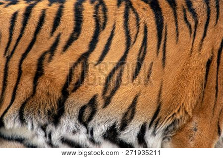 Closeup Real Tiger Skin Texture. Tiger Fur Background Texture Image Background