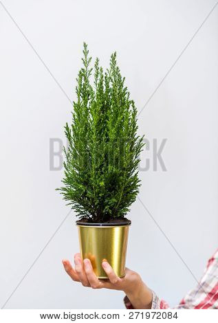 Woman Hand Holding Against White Background A Small Fir Tree Win Yellow Golden Pot - Christmas Prepa