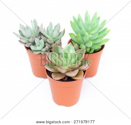 Green Succulent Cactus In Pot Isolate On White Background, Decoration Concept