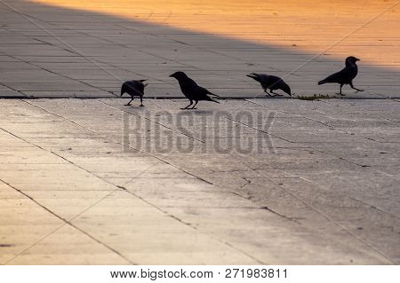 Ravens Walking On The Street By Morning Sunrise.