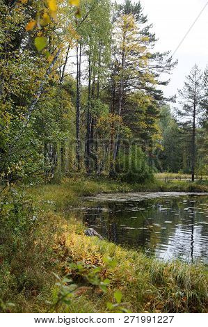 Autumn Forest On The Lake. On Birches Yellow And Green Leaves, Green Pines. Yellow Grass On The Shor