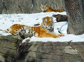 Tigers in Pittsburgh Zoo laying down in snow poster