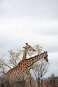 Wild Giraffe feeding in the bush of Kruger Park, South Africa poster
