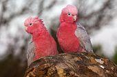 A pair of Galahs (a type of cockatoo) at The Pinnacles Nambung National Park Western Australia. poster