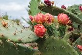 Blooming Prickly Pear with cactus fruits and flowers outdoor closeup in Turkey poster