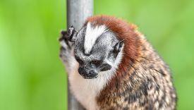 Geoffroys Tamarin (saguinus Geoffroyi).  A Type Of Small Monkey, Found In Panama & Colombia. Predomi