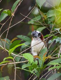 Geoffroys Tamarin (saguinus Geoffroyi) Small Monkey In Panama Rain Forest.   Aka  The Panamanian, Re