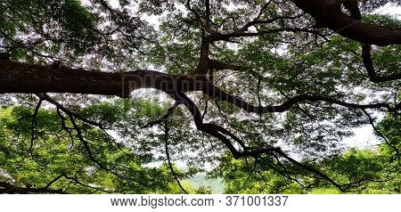Big Tree Branch Of Giant Monkey Pod Tree With Green Leaves For Background At Kanchanaburi, Thailand