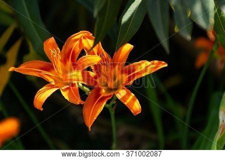 Hemerocallis Fulva, Orange Daylily Close-up. Bright Garden Flower. Summer Flowerbed With Flowers. Or
