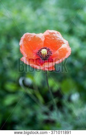 Wild Red Poppy Blossom In Summer. Close Up.