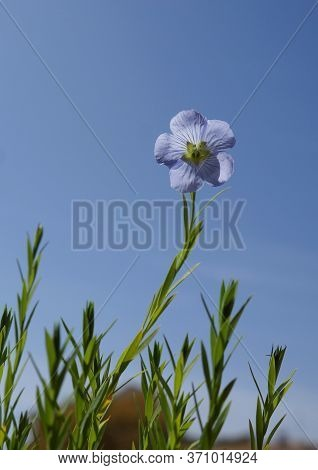 Blue Flower Of Perennial Blue Flax Alpine Flax (linum Perenne) On Blue Sky Background, Selective Foc