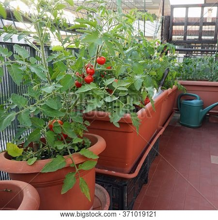 Urban Garden With The Sustainable Cultivation Of Red Tomato Plants On The Terrace Of The House In Th