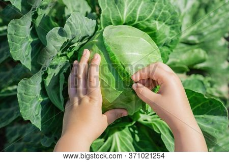 Top View Of Hands Of Child Holding White Cabbage In The Garden. Harvesting Cabbage.
