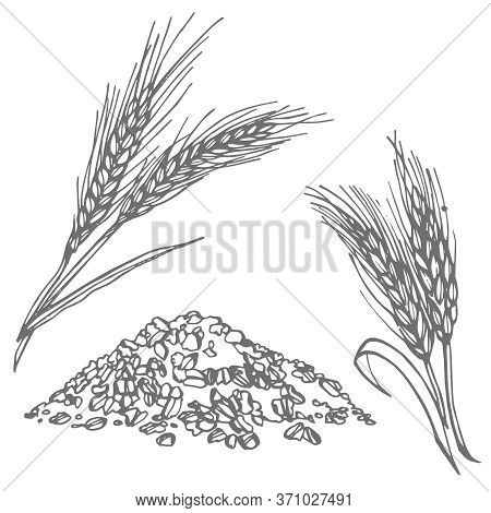 Oats, Oat Flakes. Graphic Illustrations. Agriculture Industry Organic Crop Products For Oat Groats F