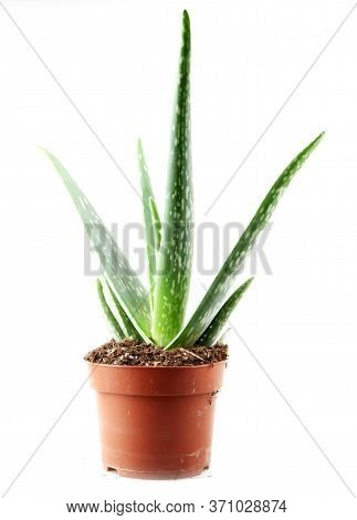 Aloe Vera Plant Isolated On White Background. Aloe Vera Is A Succulent Plant Species Of The Genus Al