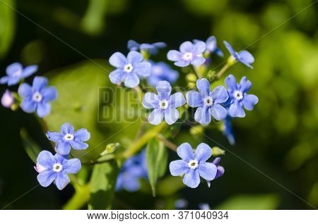 Blue Myosotis Flowers Close-up. Green Leaves Of Wildflowers. Delicate Petals. Forget-me-not.