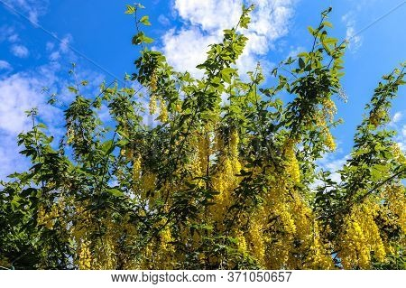 Yellow Blossom Of A Golden Shower Tree (cassia Fistula) On A Sunny Day In Summer