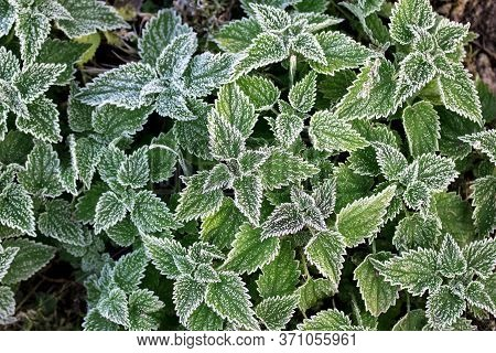 White Frost On Nettle Leaves. The First Frosts